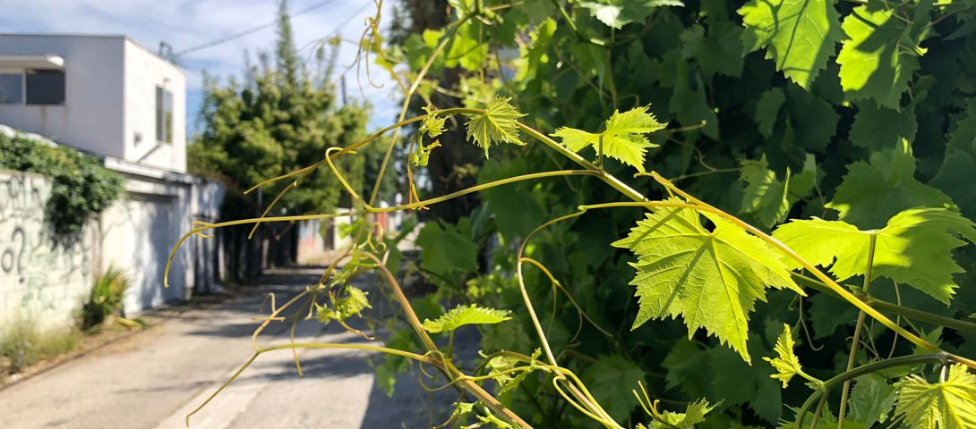 Fermented stuffed grape leaves for #QuarantineShabbat