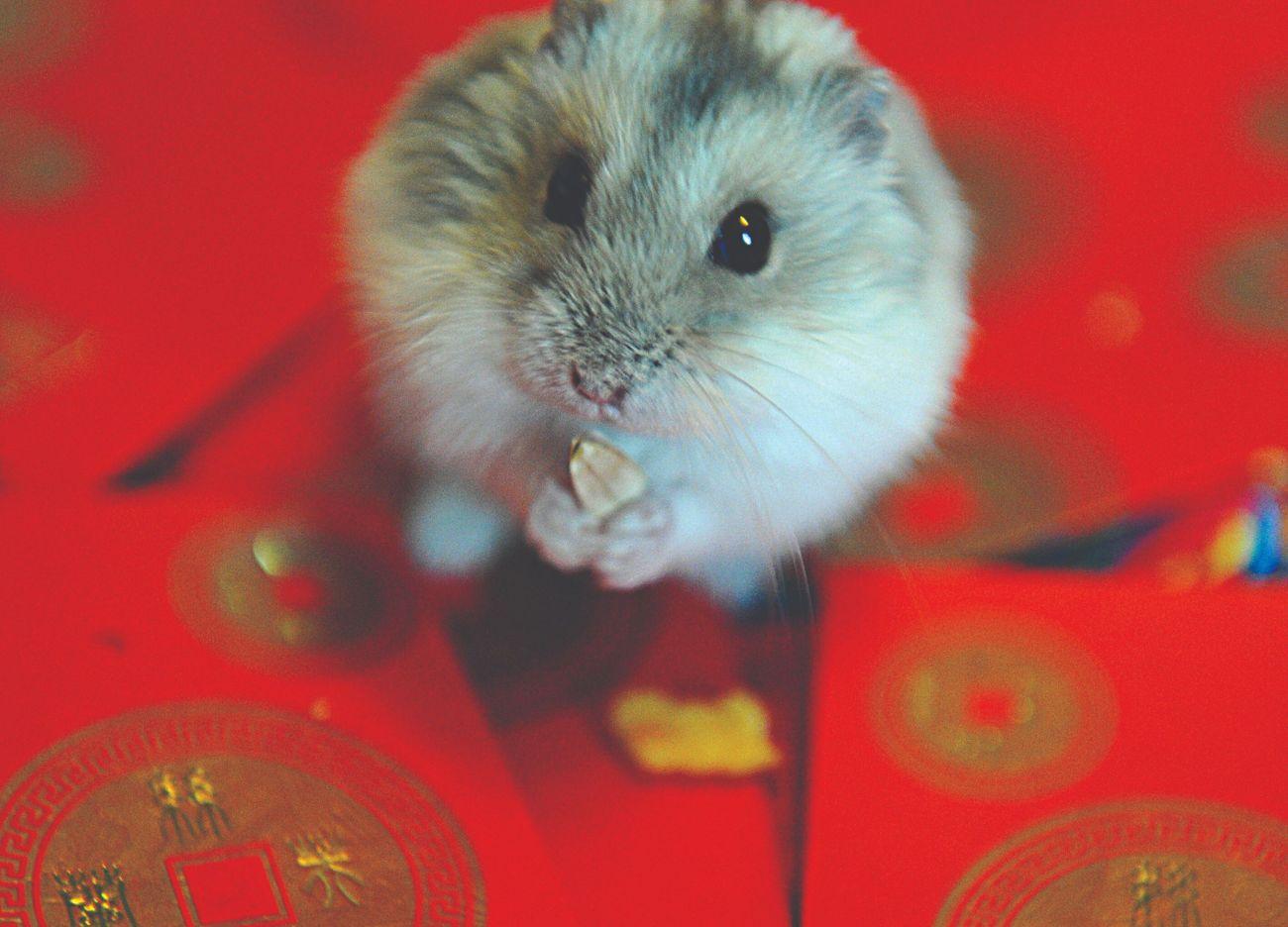 7ea0002a3eec22 The Secret Jewish History Of The Pet Hamster – The Forward