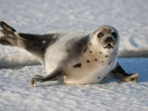 Are Seals Kosher? A Jewish Inuit Activist Says Yes.