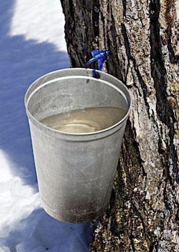 64bec112f86 Sugar Season  Harvesting Maple Syrup on a New England Farm – The Forward